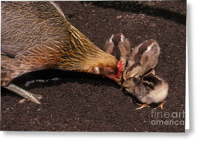 Gallus Gallus Greeting Cards - Hen And Chicks Greeting Card by Ron Sanford
