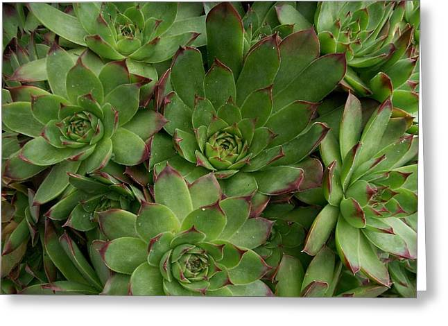 Rosette Paintings Greeting Cards - Hen and Chicks Greeting Card by Sharon Duguay
