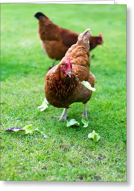 Free Range Hens Greeting Cards - Hen Greeting Card by Fizzy Image