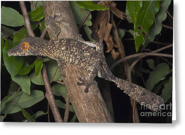 Toe Pad Greeting Cards - Henkels Leaftailed Gecko Greeting Card by Greg Dimijian