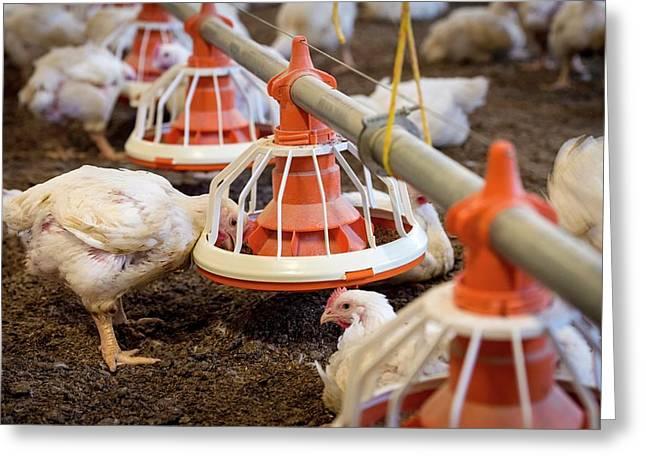 Hens Feeding From A Trough Greeting Card by Aberration Films Ltd
