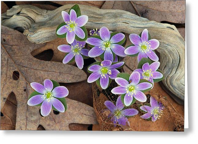 Medium Flowers Greeting Cards - Hepatica Flowers Growing Through Fallen Greeting Card by Panoramic Images