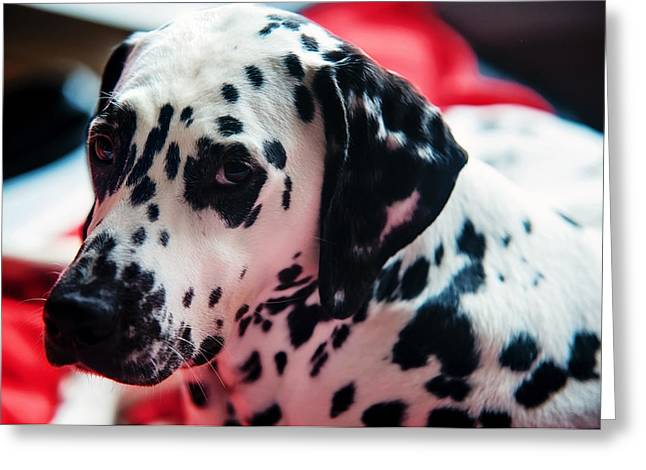 Gun Dog Greeting Cards - Her Eyes. Portrait of Dalmation Dog. Kokkie Greeting Card by Jenny Rainbow