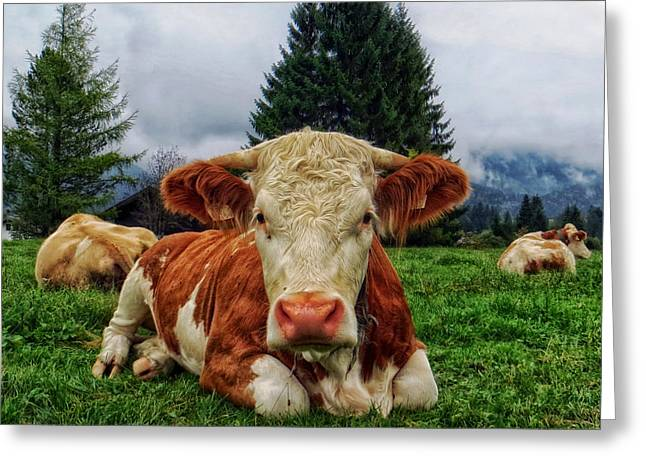 Steer Greeting Cards - Herd at Rest Greeting Card by Mountain Dreams