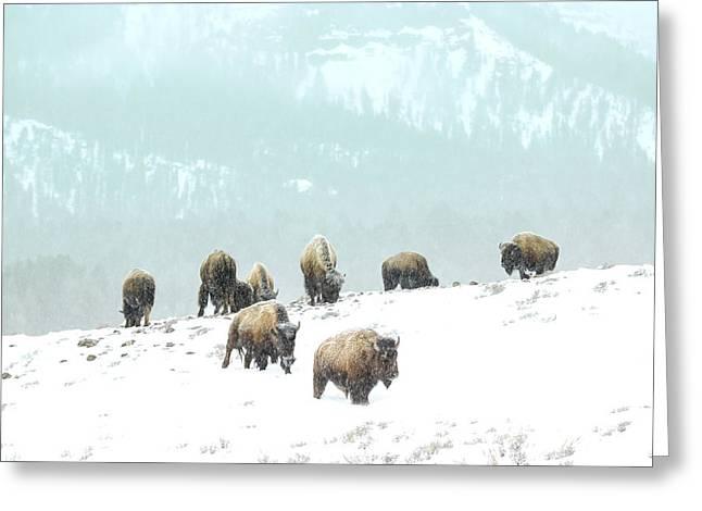 White Thick Fur Greeting Cards - Herd feeding Greeting Card by Thomas Szajner