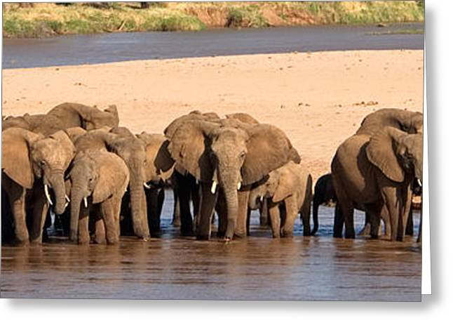 Wild Life Photographs Greeting Cards - Herd Of African Elephants At A River Greeting Card by Panoramic Images