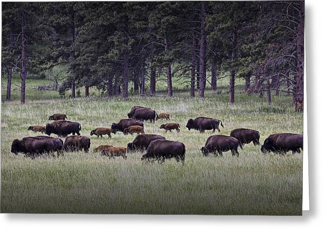 Tatanka Greeting Cards - Herd of American Buffalo or Bison in Custer State Park Greeting Card by Randall Nyhof