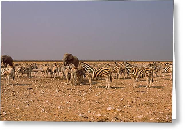 Equus Greeting Cards - Herd Of Burchells Zebras Equus Quagga Greeting Card by Panoramic Images