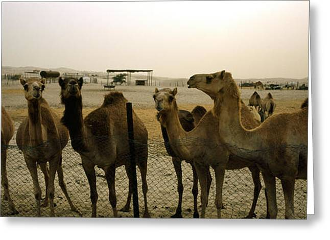 Herd Of Camels In A Farm, Abu Dhabi Greeting Card by Panoramic Images