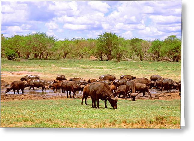 Mud Greeting Cards - Herd Of Cape Buffaloes Syncerus Caffer Greeting Card by Panoramic Images