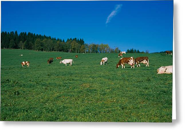 Cow Images Greeting Cards - Herd Of Cows Grazing In A Field, St Greeting Card by Panoramic Images