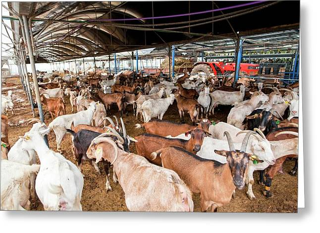 Herd Of Goats Greeting Card by Photostock-israel