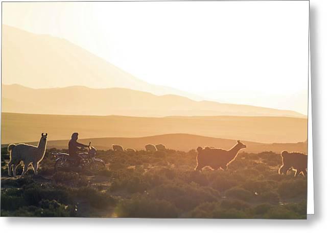 Herd Of Llamas Lama Glama In A Desert Greeting Card by Panoramic Images