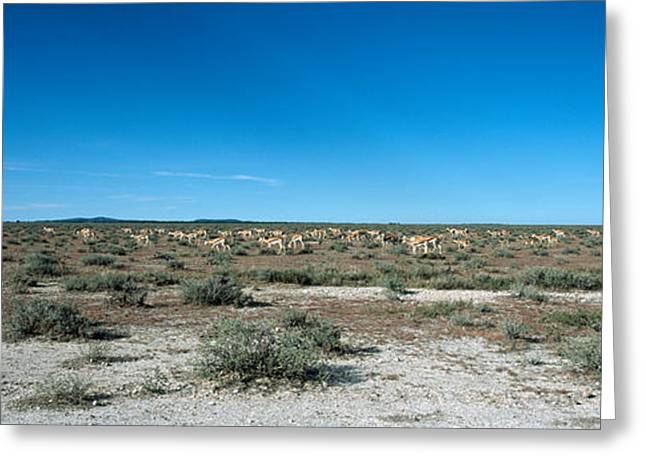 Wide Open Space Greeting Cards - Herd Of Springboks Antidorcas Greeting Card by Panoramic Images