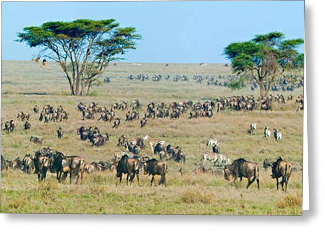 Herd Of Wildebeest And Zebras Greeting Card by Panoramic Images