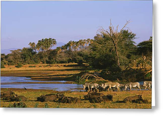 Zebra Grazing Greeting Cards - Herd Of Zebra Equus Grevyi And African Greeting Card by Panoramic Images