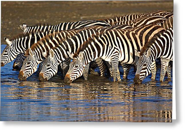 Conservation Area Greeting Cards - Herd Of Zebras Drinking Water Greeting Card by Panoramic Images