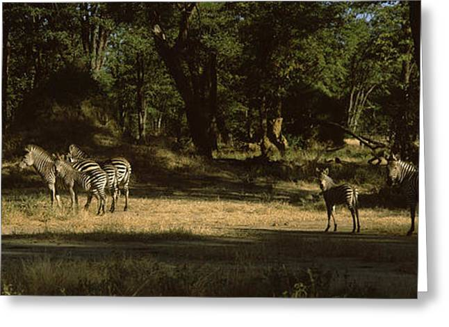 Zimbabwe Photographs Greeting Cards - Herd Of Zebras In A Forest, Hwange Greeting Card by Panoramic Images