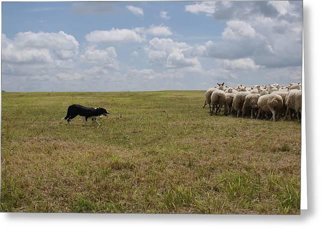 Troupeau Greeting Cards - Herding Greeting Card by Amelie Vandenberghe