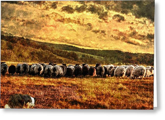 Collie Mixed Media Greeting Cards - Herding Greeting Card by Sabine Peters