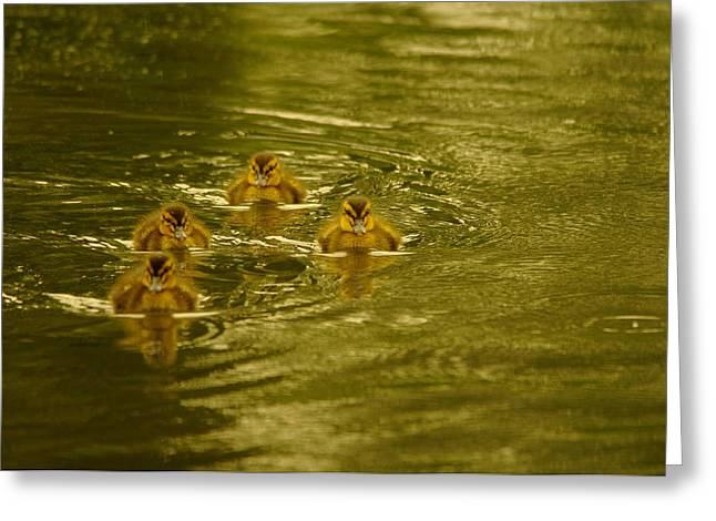 Water Fowl Greeting Cards - Here Comes The Little Bread Beggers Greeting Card by Jeff  Swan