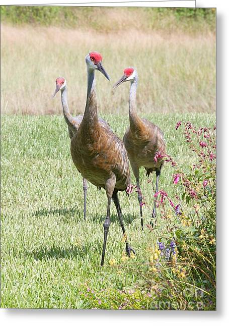 Sandhill Cranes Greeting Cards - Here Comes Trouble Greeting Card by Carol Groenen