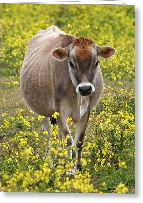 Dairy Farmers And Farming Greeting Cards - Here I Come - Jersey Cow Greeting Card by Gill Billington