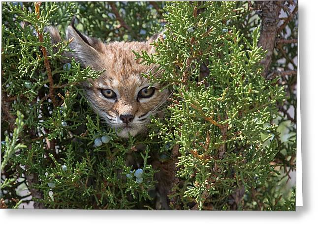 Best Sellers -  - Bobcats Photographs Greeting Cards - Here Kitty Kitty Greeting Card by Sandy Sisti