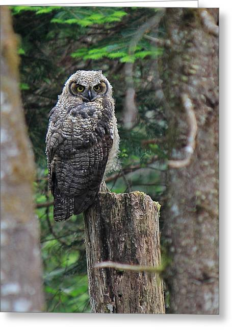 Owlets Greeting Cards - Heres Looking At You Greeting Card by Randy Hall