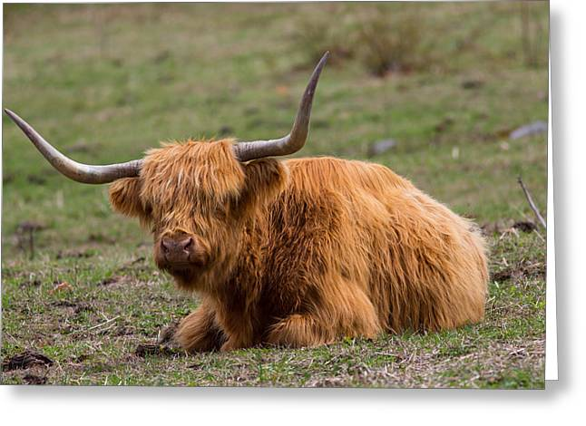 Concord Greeting Cards - Highland Cattle Bull Greeting Card by Allan Morrison