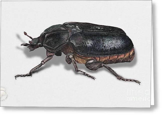 Nature Study Drawings Greeting Cards - Hermit beetle - Russian leather beetle - Osmoderma eremita - Pique prune - Erakkokuoriainen Greeting Card by Urft Valley Art