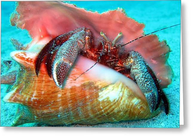 Laura Hiesinger Greeting Cards - Hermit Crab Caribbean Sea Greeting Card by Laura Hiesinger
