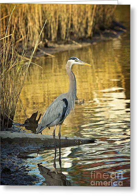 Evening Scenes Greeting Cards - Heron along the Bayou Greeting Card by Joan McCool