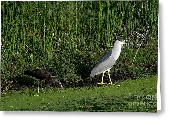 Ibis Greeting Cards - Heron And Ibis Greeting Card by Mark Newman
