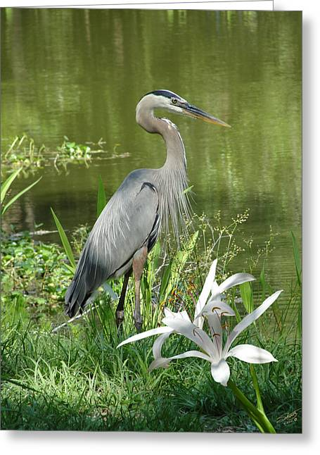 Great Birds Greeting Cards - Heron and Swamp Lily Greeting Card by Schwartz