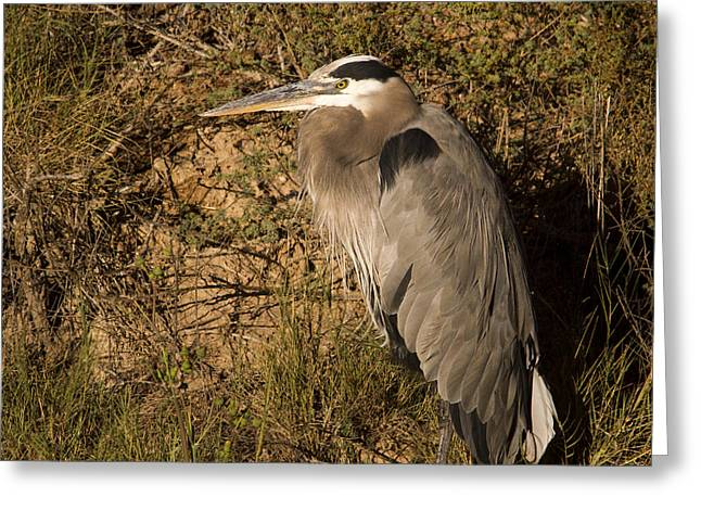 Hunting Bird Greeting Cards - Heron Basking in the morning sun Greeting Card by Jean Noren