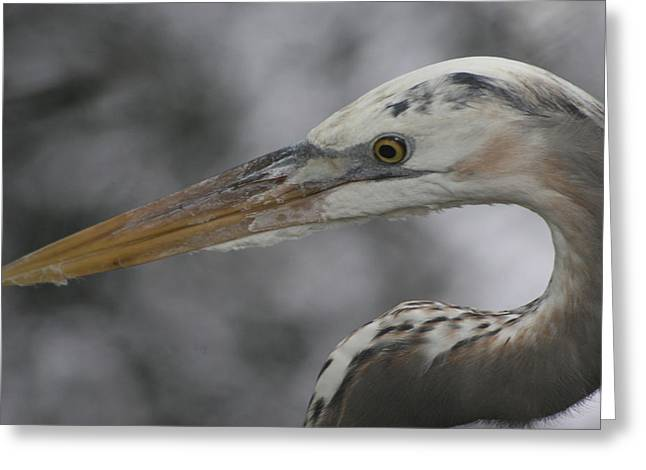 Carlynne Hershberger Greeting Cards - Heron Greeting Card by Carlynne Hershberger