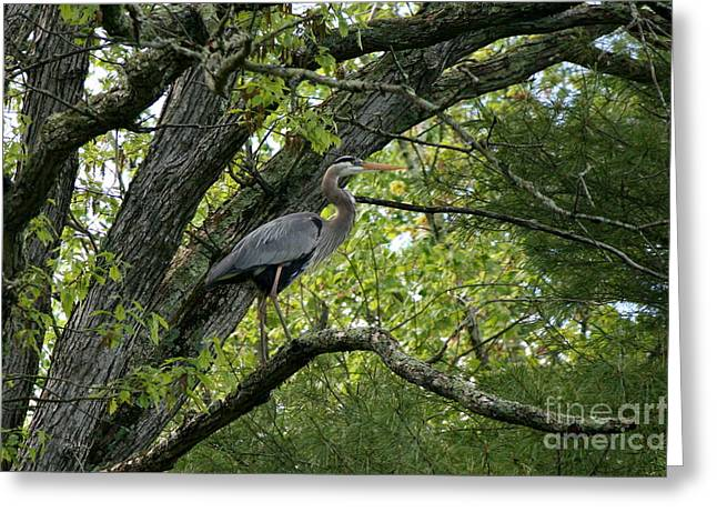 Nature Photos Greeting Cards - Heron Fishing on Little River  Greeting Card by Neal  Eslinger