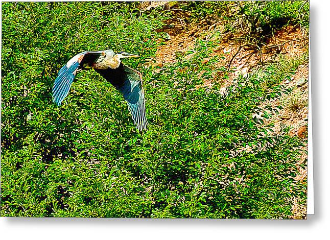 Oak Creek Greeting Cards - Heron flies Over Oak Creek in Red Rock State Park Sedona Arizona Greeting Card by  Bob and Nadine Johnston