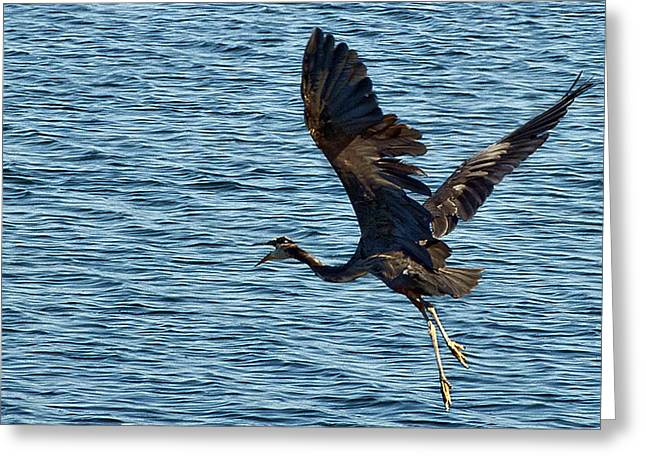 Framed Whidbey Prints Greeting Cards - Heron in Flight Greeting Card by Ron Roberts