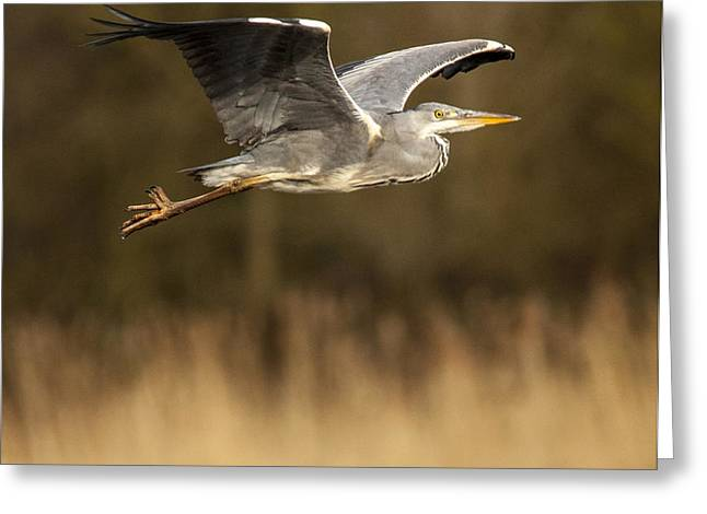 Heron in flight Greeting Card by Simon West