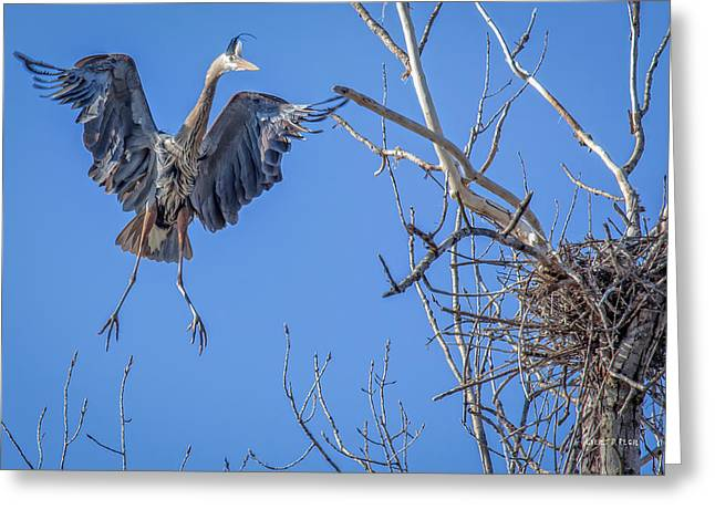 Great Blue Heron Greeting Cards - Heron Landing on Nest Greeting Card by Everet Regal