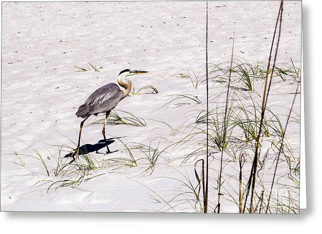 Egret Greeting Cards - Heron on the white sand Greeting Card by Zina Stromberg