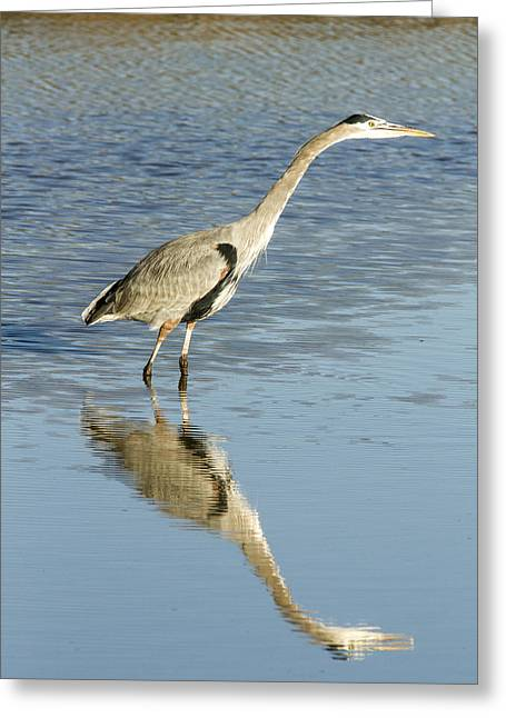 Hunting Bird Greeting Cards - Heron Putting his Neck Out Greeting Card by Jean Noren