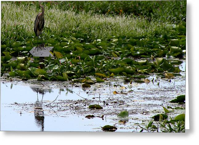 Reflectio Greeting Cards - Heron Reflection Greeting Card by Dan Sproul