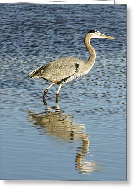 Hunting Bird Greeting Cards - Heron Walking through the Water. Greeting Card by Jean Noren