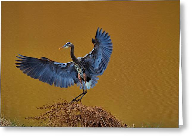 Paul Lyndon Phillips Greeting Cards - Heron with wings out - 9235 Greeting Card by Paul Lyndon Phillips