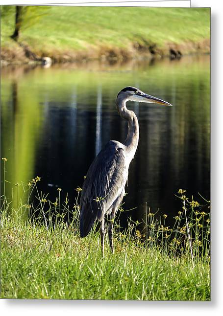 Egret Greeting Cards - Heron Greeting Card by Zina Stromberg