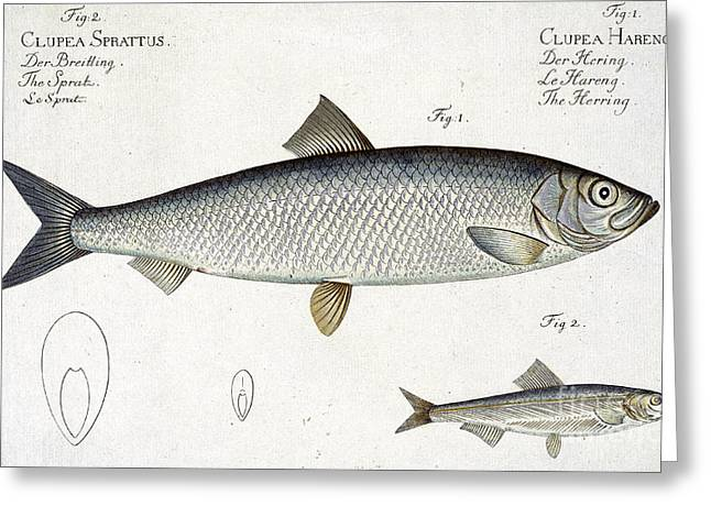 Hunting Drawings Greeting Cards - Herring Greeting Card by Andreas Ludwig Kruger