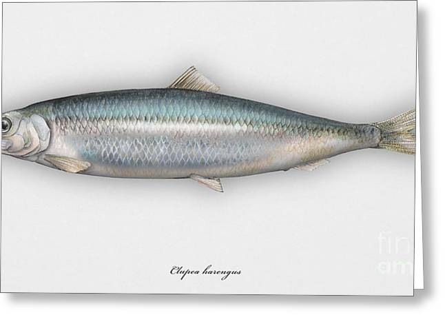Fresh Food Drawings Greeting Cards - Herring  Clupea harengus - Hareng - Arenque - Silakka - Aringa - Seafood Art Greeting Card by Urft Valley Art
